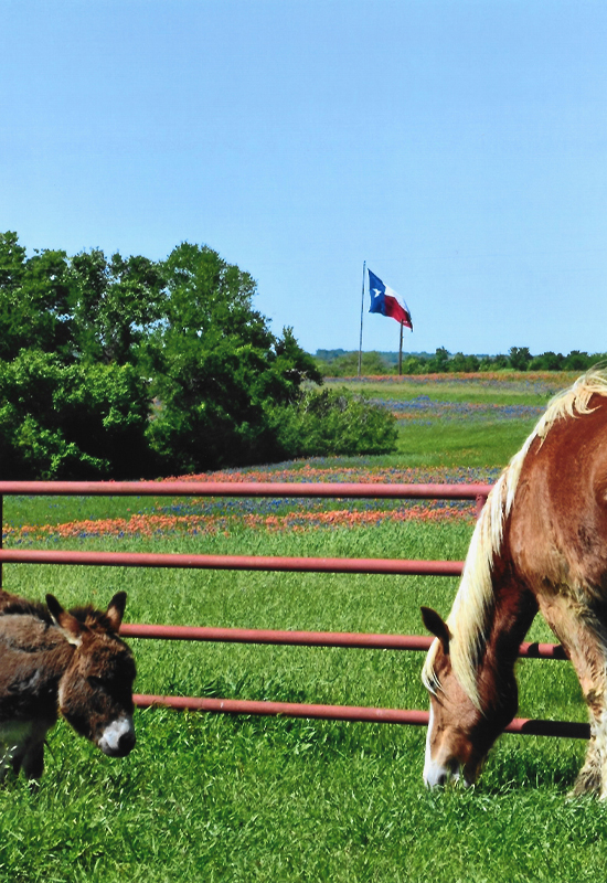 donkey and horse in bluebonnets