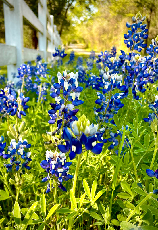 wire and bluebonnets