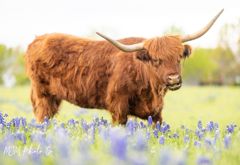 sign and bluebonnets